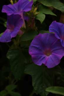 A Group of Morning Glories